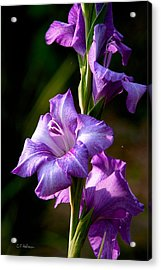 Purple Glads Acrylic Print by Christopher Holmes