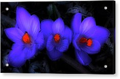 Beautiful Blue Purple Spring Crocus Blooms Acrylic Print