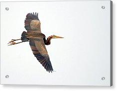 Purple Heron In Flight Acrylic Print