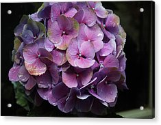 Purple Hydrangea- By Linda Woods Acrylic Print