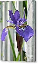 Purple Iris At The Fence Acrylic Print