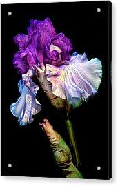 Purple Iris Acrylic Print by Dave Mills