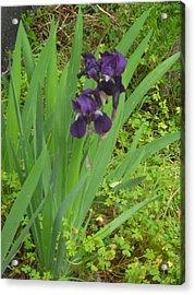 Purple Iris With Green Leaves Acrylic Print by Sharon McKeegan