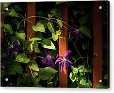 Acrylic Print featuring the photograph Purple Jackmanii Clematis by Onyonet  Photo Studios