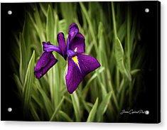 Purple Japanese Iris Acrylic Print