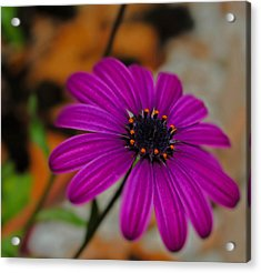 Acrylic Print featuring the photograph Purple  by Laura DAddona