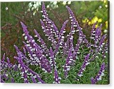 Purple Lavender Acrylic Print by Liz Santie