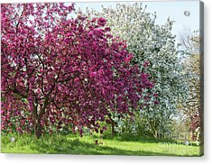 Acrylic Print featuring the photograph Purple Leaved Crab Apple Blossom In Spring by Tim Gainey