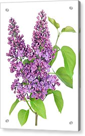 Purple  Lilac Isolated Branch Acrylic Print
