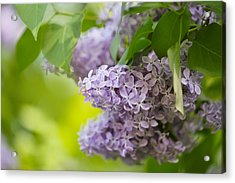 Purple Lilac Acrylic Print by Nailia Schwarz