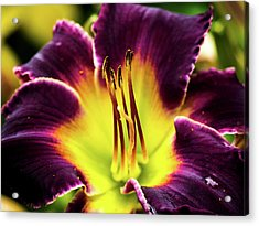 Purple Lily - Close Up Acrylic Print by Penny Lisowski
