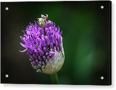 Purple Acrylic Print by Lisa Plymell