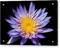 Purple Lotus Acrylic Print