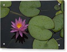 Purple Lotus Acrylic Print by Lisa Missenda