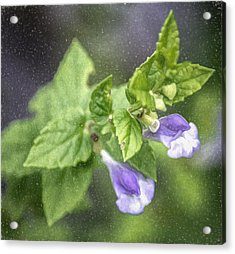 Purple Marsh Skullcap Sketch Acrylic Print