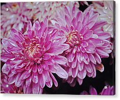 Purple Mums Acrylic Print by JAMART Photography