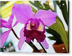 Purple Orkid Acrylic Print