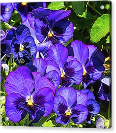 Purple Pansies In Morning Light Acrylic Print