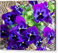 Acrylic Print featuring the photograph Purple Pansies by Sandi OReilly