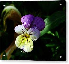Purple Pansy Acrylic Print