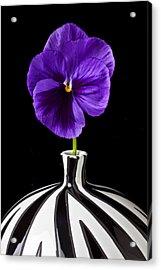 Purple Pansy Acrylic Print by Garry Gay