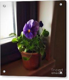 Purple Pansy On My Windowsill Acrylic Print by Patricia E Sundik