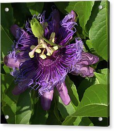 Acrylic Print featuring the photograph Purple Passion Flower by Michael Flood