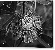Purple Passionflower Bw Acrylic Print by Chris Flees