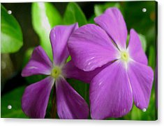 Purple Periwinkle Flower Acrylic Print by Lanjee Chee
