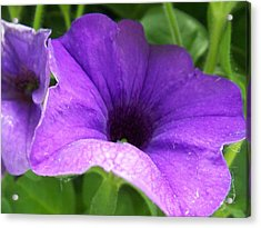 Purple Petunia Acrylic Print by Ellen B Pate