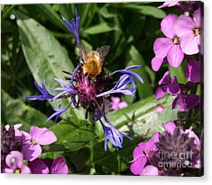 Purple Pollination Acrylic Print by Richard Brookes