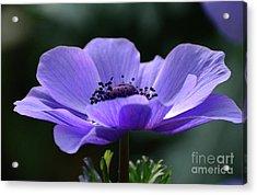 Purple Poppy Mona Lisa Acrylic Print