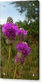 Purple Prairie Clover Acrylic Print