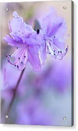 Acrylic Print featuring the photograph Purple Rhododendron. Spring Watercolors by Jenny Rainbow