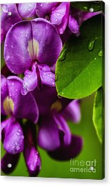 Purple Robe Locust Acrylic Print by Thomas R Fletcher