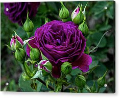 Purple Rose Acrylic Print by Alex Galkin