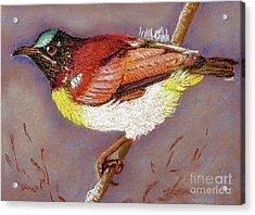 Purple Rumped Sunbird Acrylic Print
