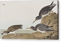 Purple Sandpiper Acrylic Print by John James Audubon