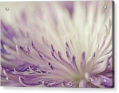 Purple Spider Mum Macro Acrylic Print