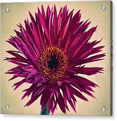 Purple Springs Spider Gerbera Daisy  Acrylic Print by Sandi OReilly