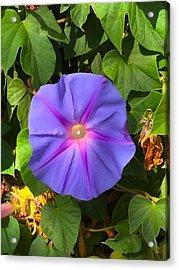 Purple Star Acrylic Print