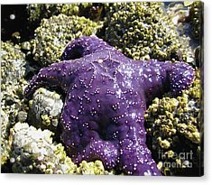 Purple Star Fish Acrylic Print