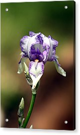 Acrylic Print featuring the photograph Purple Striped Bearded Iris by Sheila Brown