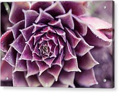 Purple Succulent Plant Blossom In Summer Acrylic Print by Jingjits Photography