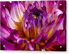 Acrylic Print featuring the photograph Purple Sunset Flower 2 by Marianne Dow