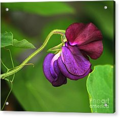 Purple Sweet Pea Acrylic Print