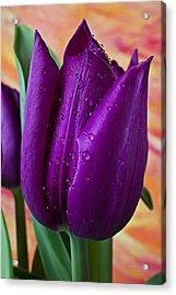 Purple Tulip Acrylic Print by Garry Gay