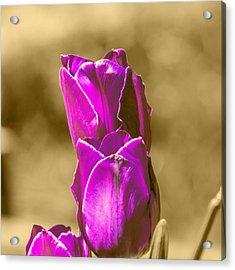 Purple Tulips Sepia Background Acrylic Print