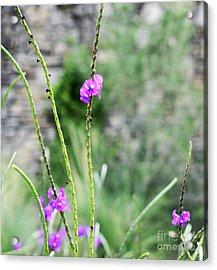 Purple Vebena Acrylic Print