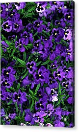 Acrylic Print featuring the photograph Purple Viola Flowers by Sally Weigand